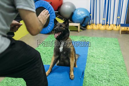 physiotherapist training malinois belgian shepherd dog