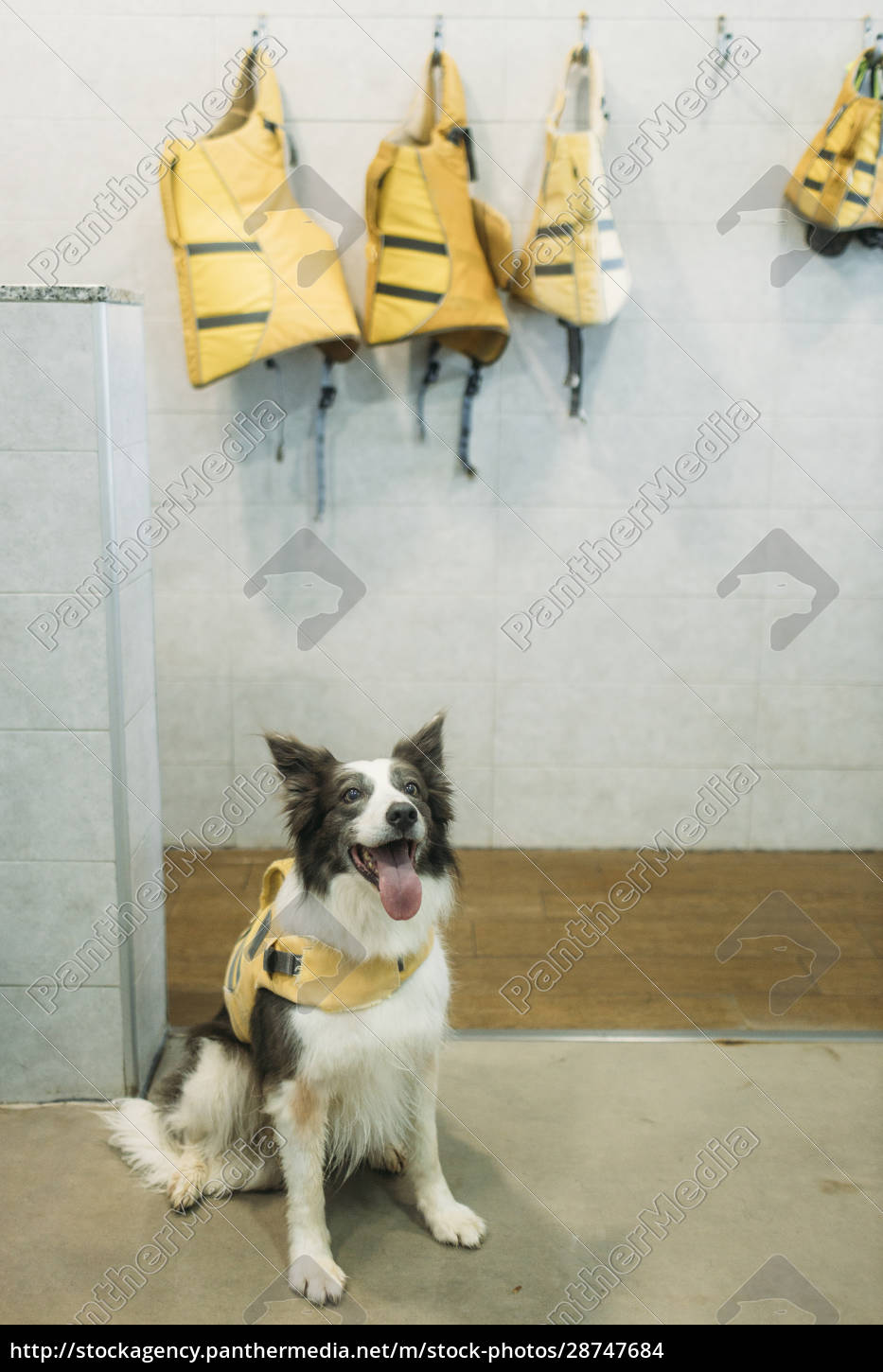 border, collie, in, life, jacket, sticking - 28747684