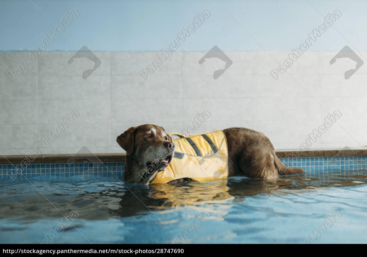 brown, labrador, retriever, wearing, life, jacket - 28747690
