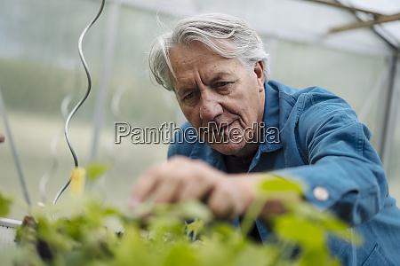 senior man examining plants in a