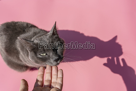 hand of woman petting russian blue
