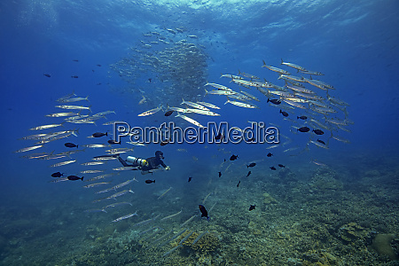 palau diver swimming with barracuda school
