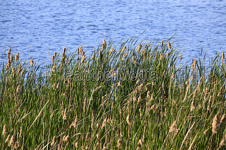 reeds growing on riverbank