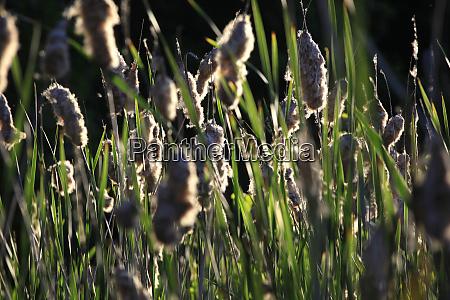 reeds growing in summer