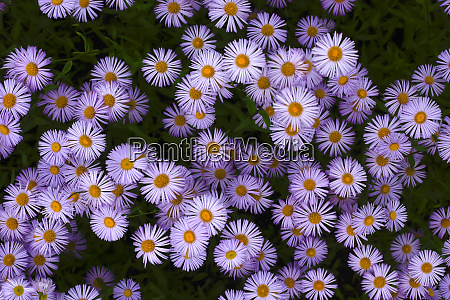 european michaelmas daisiesasteramellus