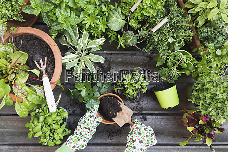hands of woman planting various culinary