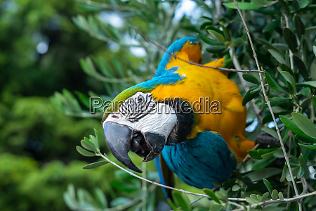 africa macaw parrot on olive tree