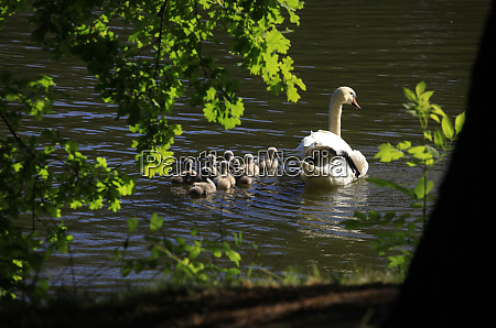 germany saxony adult swan swimming in