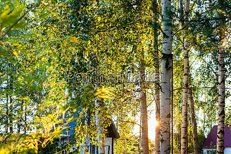 sun shines between birches in cottage