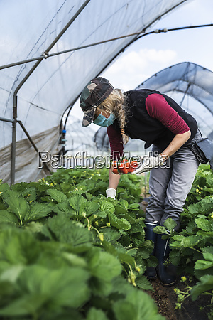 mature female farmer harvesting organically grown