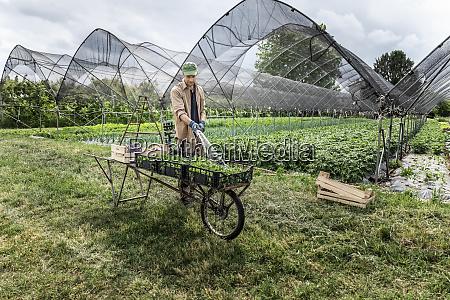 farmer washing organic seasonal vegetables at