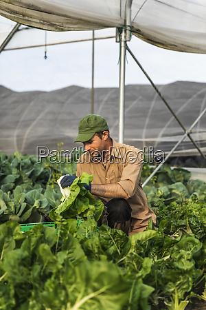 farmer harvesting organic seasonal salad grown