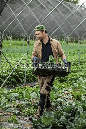 organic farmer harvesting kohlrabi in greenhouse