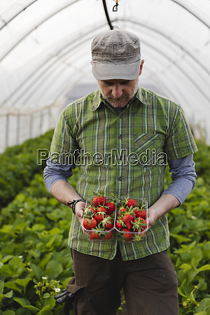 farmer holding freshly picked strawberries organic