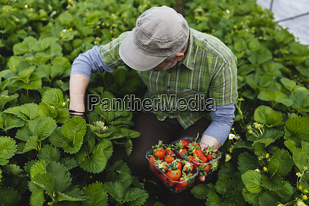 farmer picking strawberries organic farming