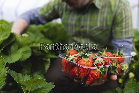 freshly picking strawberries holding plastic bowls