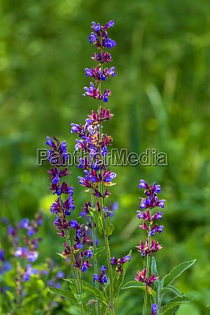 flowering sage in garden