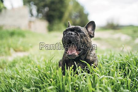 portrait of yawning bulldog lying on