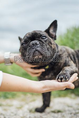 portrait of bulldog giving paw