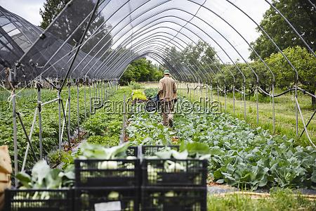 organic farmer harvesting kohlrabi