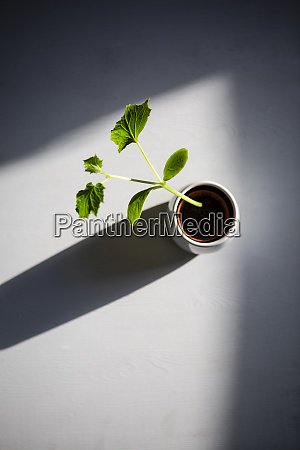 potted zucchini seedling