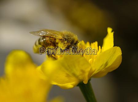european honey bee apis mellifera feeding