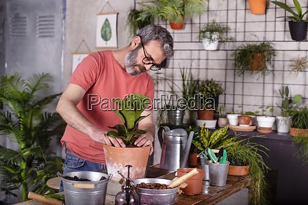 bearded mature man planting fiddle leaf