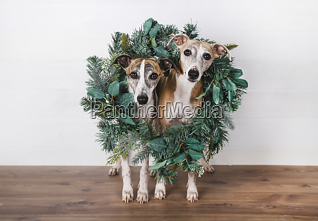 christmas wreath around dogs on hardwood