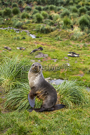portrait of antarctic fur seal arctocephalus