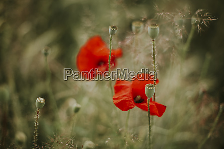 poppies and poppy seed capsules