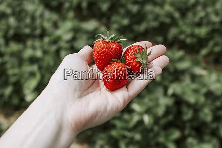 ripe strawberries on hand