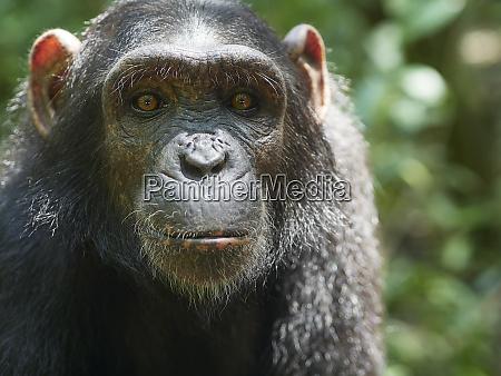cameroon pongo songo portrait of young