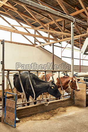cows standing in pen at dairy