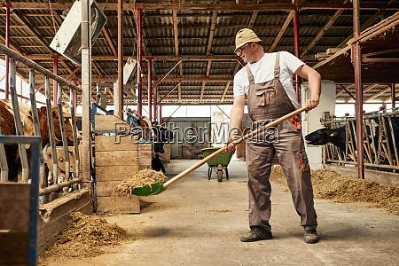 male farmer feeding hay to cows