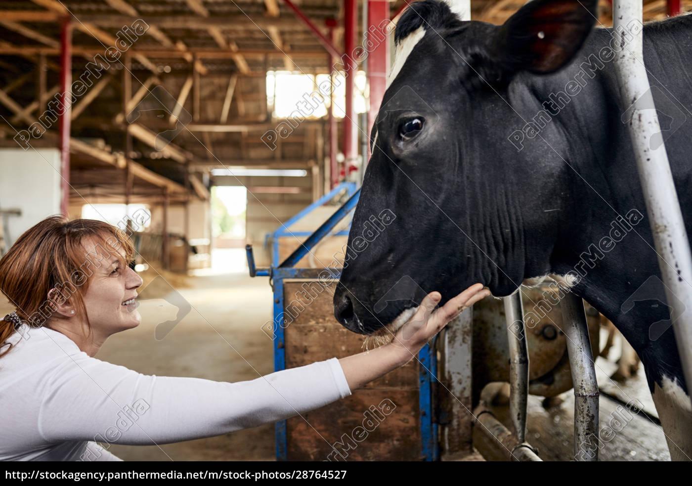 smiling, female, farmer, stroking, black, cow - 28764527