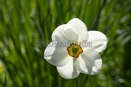 head of blooming poets daffodil narcissus