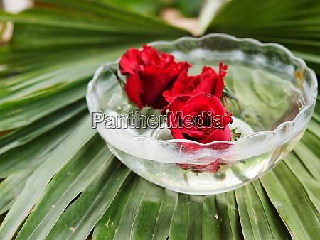 beautiful red rose bud in water