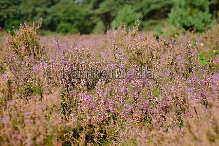 moorland with purple heather