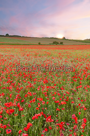 stunning poppy fields at sunrise with