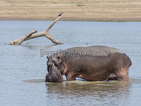hippopotamus hippopotamus amphibius south luangwa national