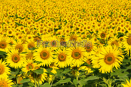 sunflowers austria europe