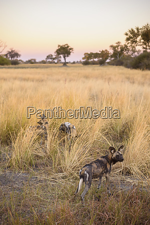 african wild dog painted wolf lycaon