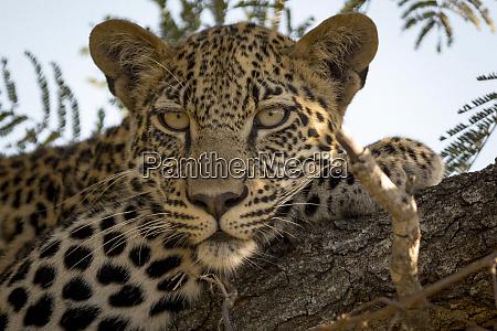 leopard in tree panthera pardus kruger