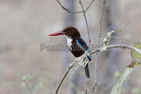 white throated kingfisher halcyon smyrnensis smyrnensis