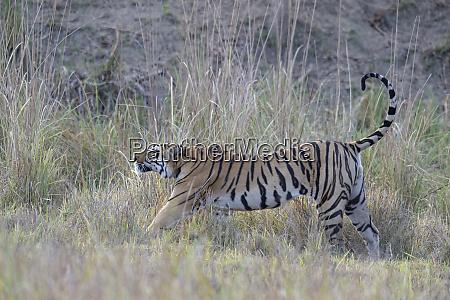 young male bengal tiger panthera tigris