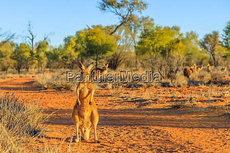 red kangaroo macropus rufus standing on