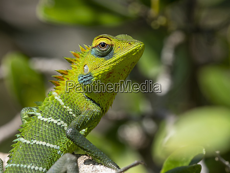 an adult common green forest lizard