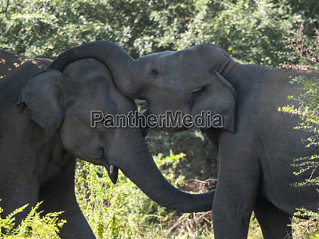 young asian elephants elephas maximus mock