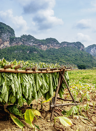 tobacco leaves drying in the field