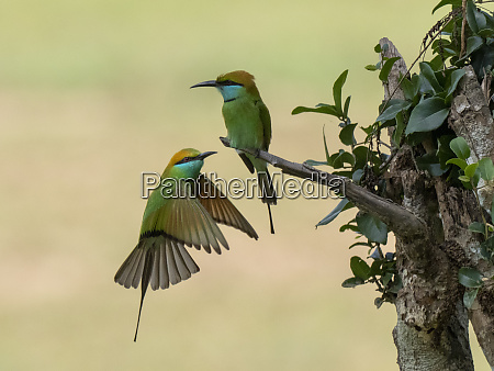 a pair of adult little green